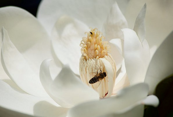 Magnolia-White-Flower-Pollen-Free-Image-Bee-Close--4630